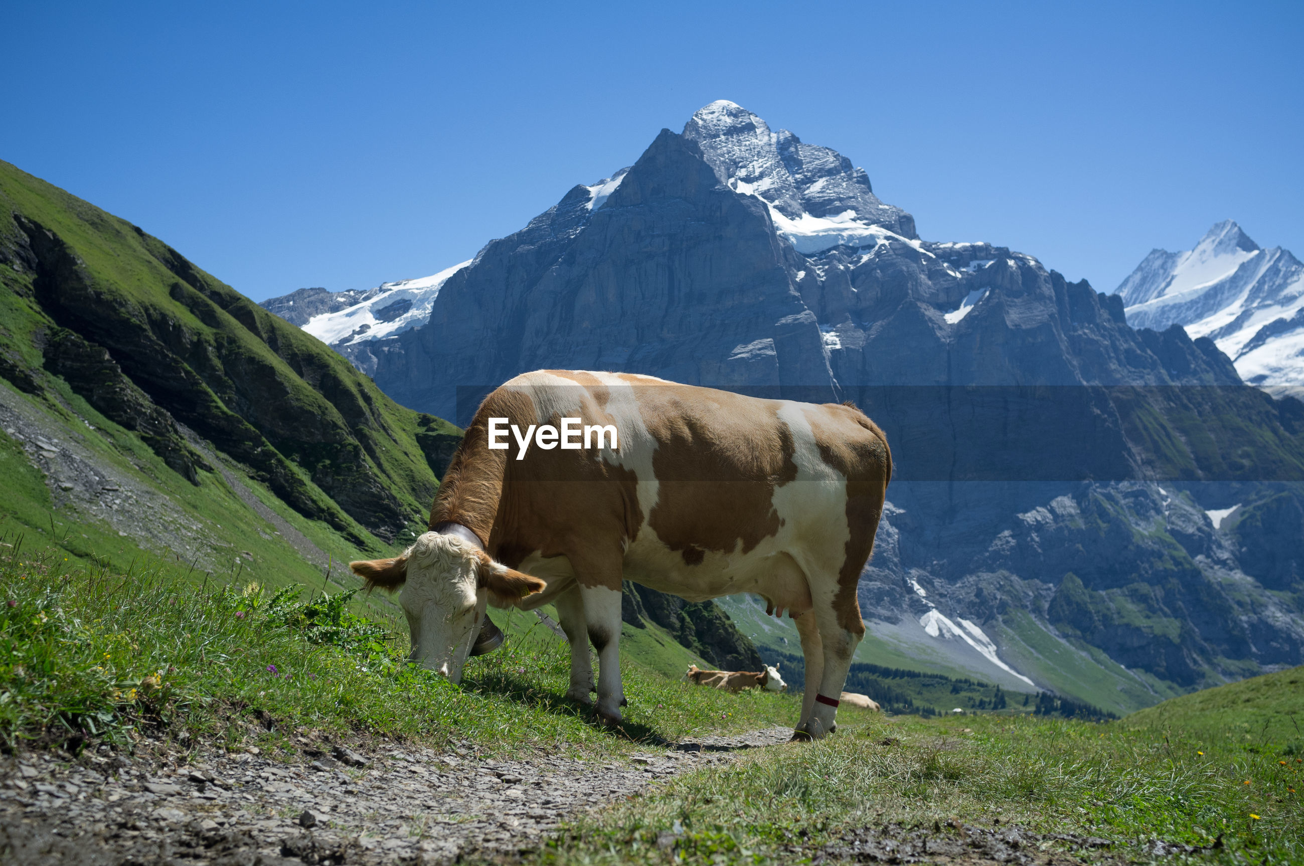 Cow grazing on field against mountains during winter