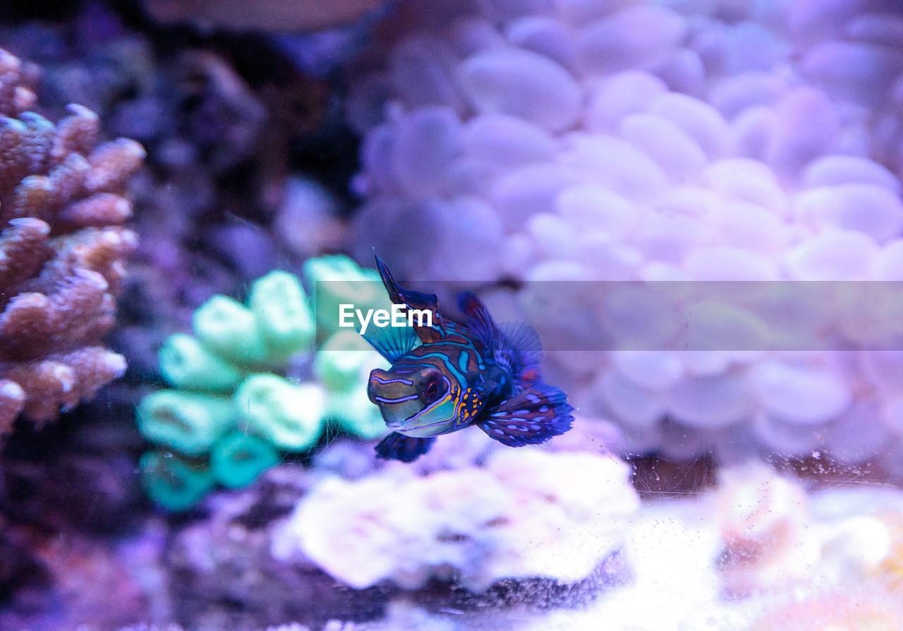 Close-Up Of Mandarinfish Swimming
