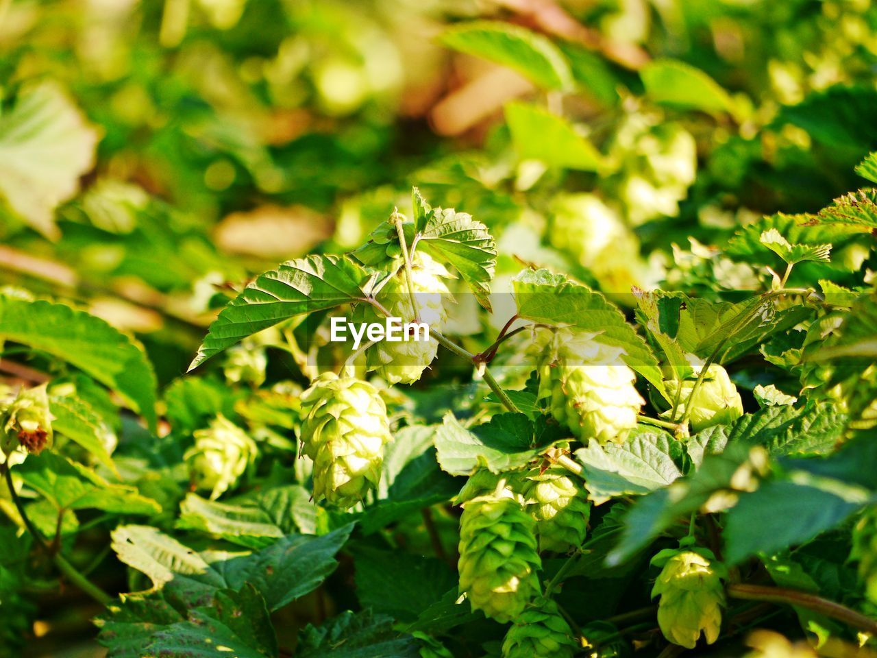 growth, leaf, green color, plant part, plant, selective focus, close-up, beauty in nature, day, nature, no people, food and drink, food, freshness, outdoors, full frame, sunlight, field, focus on foreground, land, herb