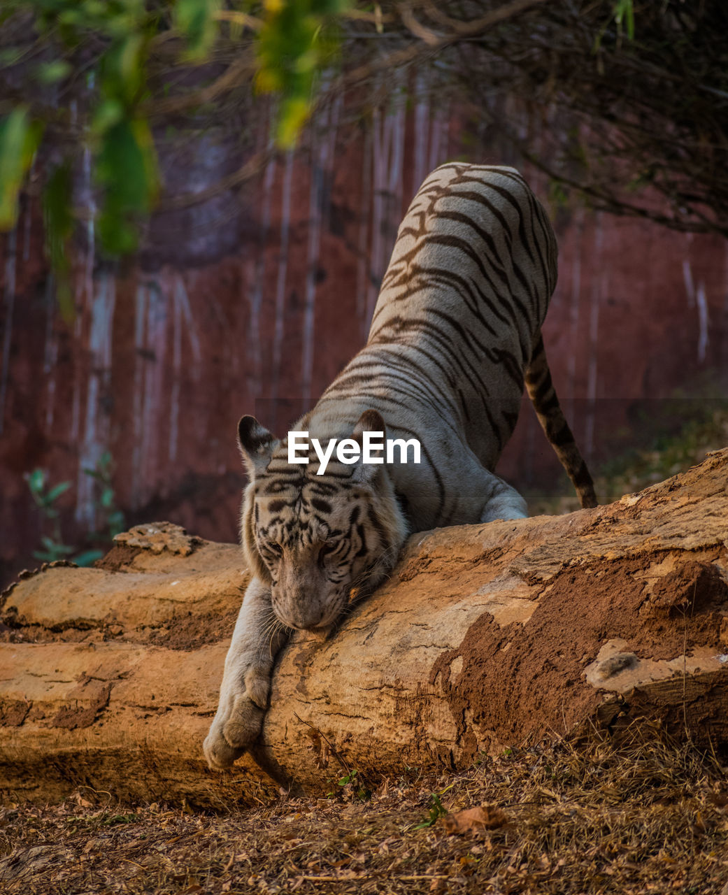 mammal, animal, animal themes, feline, animal wildlife, animals in the wild, big cat, tiger, vertebrate, one animal, cat, tree, nature, carnivora, no people, relaxation, day, land, animals in captivity, white tiger, zoo, outdoors, whisker