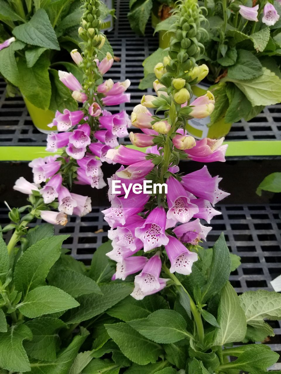 plant, plant part, leaf, flower, flowering plant, freshness, beauty in nature, growth, close-up, vulnerability, pink color, fragility, nature, green color, no people, day, flower head, inflorescence, petal, purple, outdoors, flower arrangement