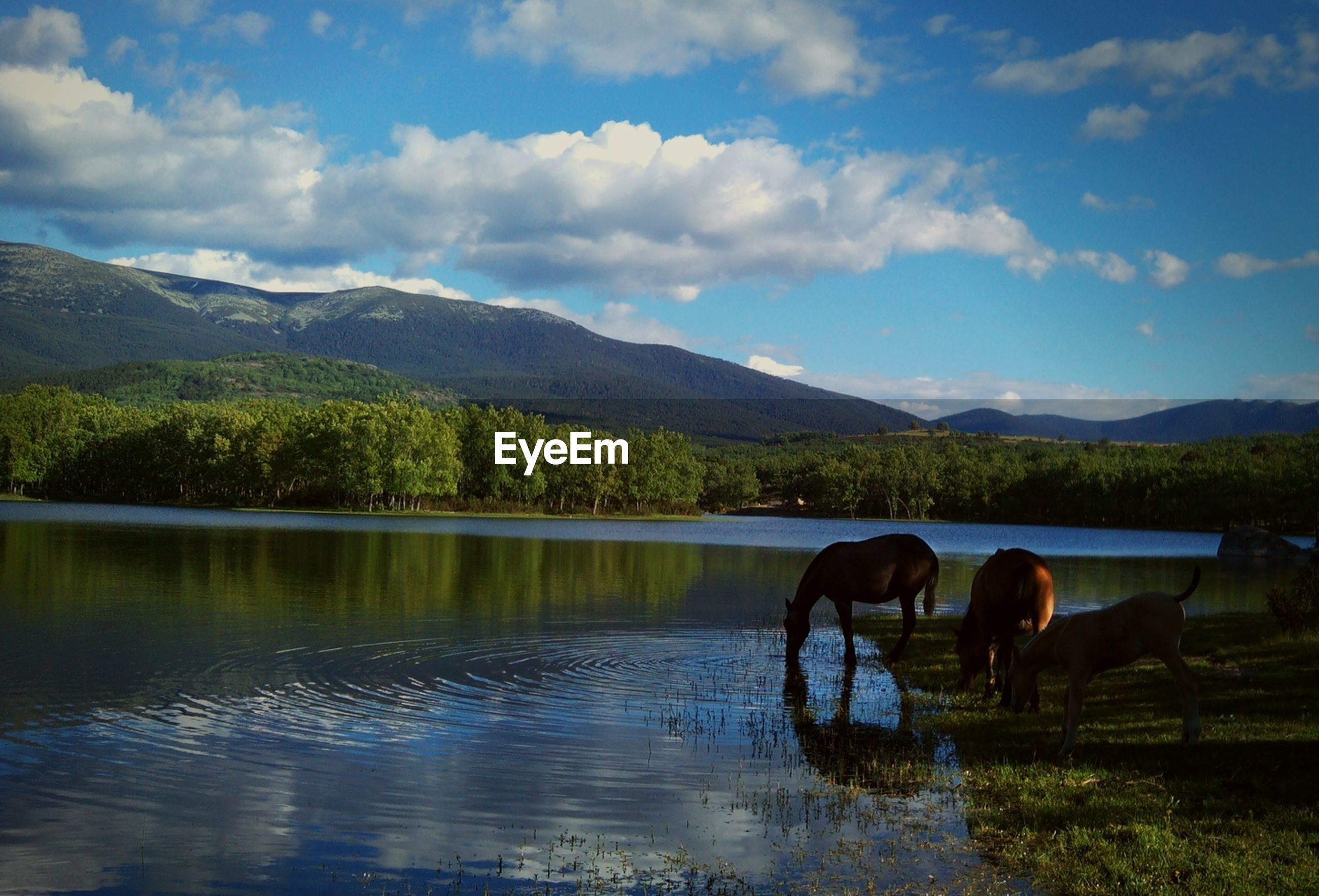 Horses drinking from a river with mountain and forest in the background