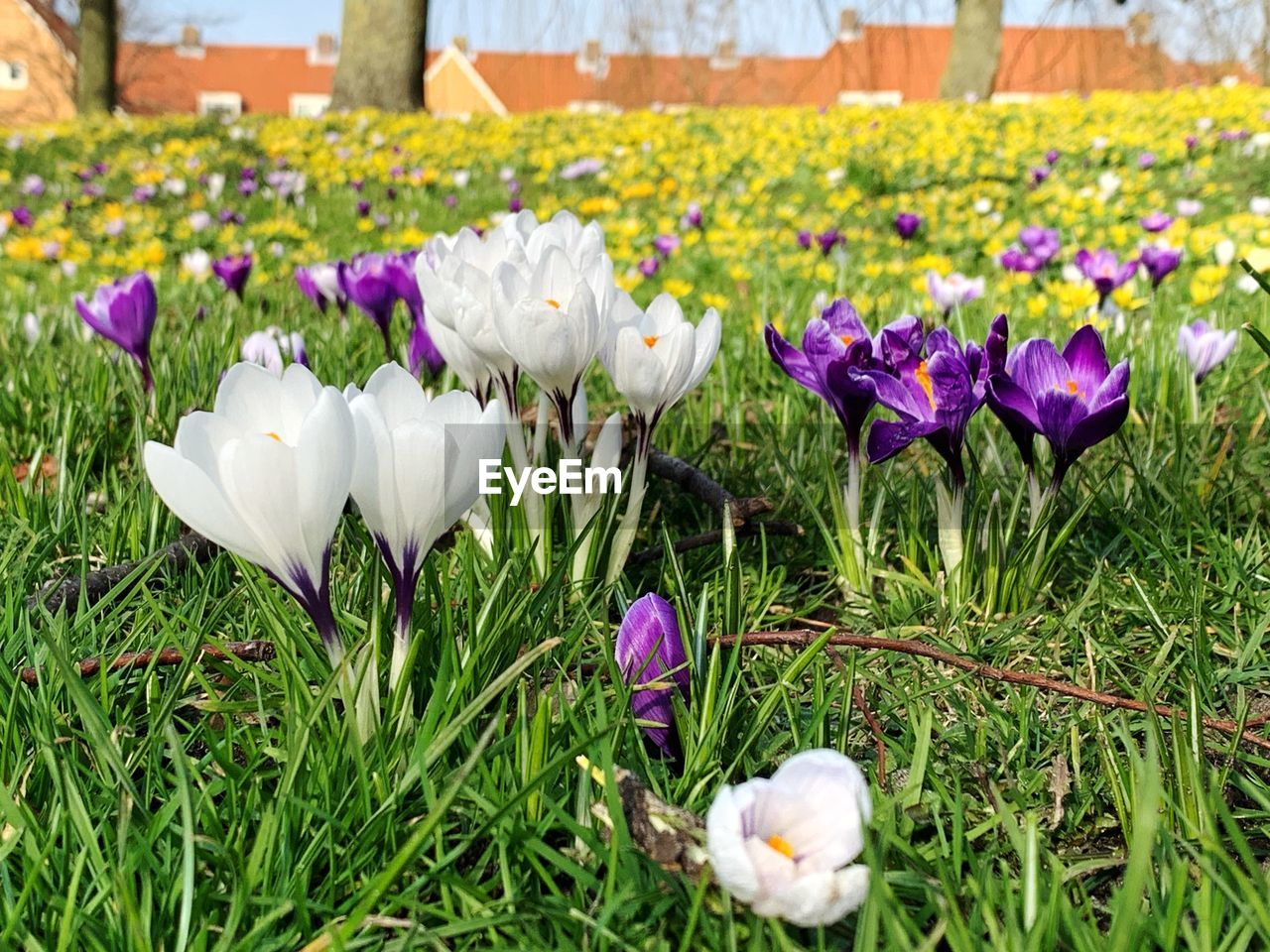 flowering plant, plant, flower, beauty in nature, vulnerability, freshness, fragility, petal, growth, nature, flower head, inflorescence, iris, close-up, field, purple, crocus, no people, day, land, springtime, outdoors, flowerbed