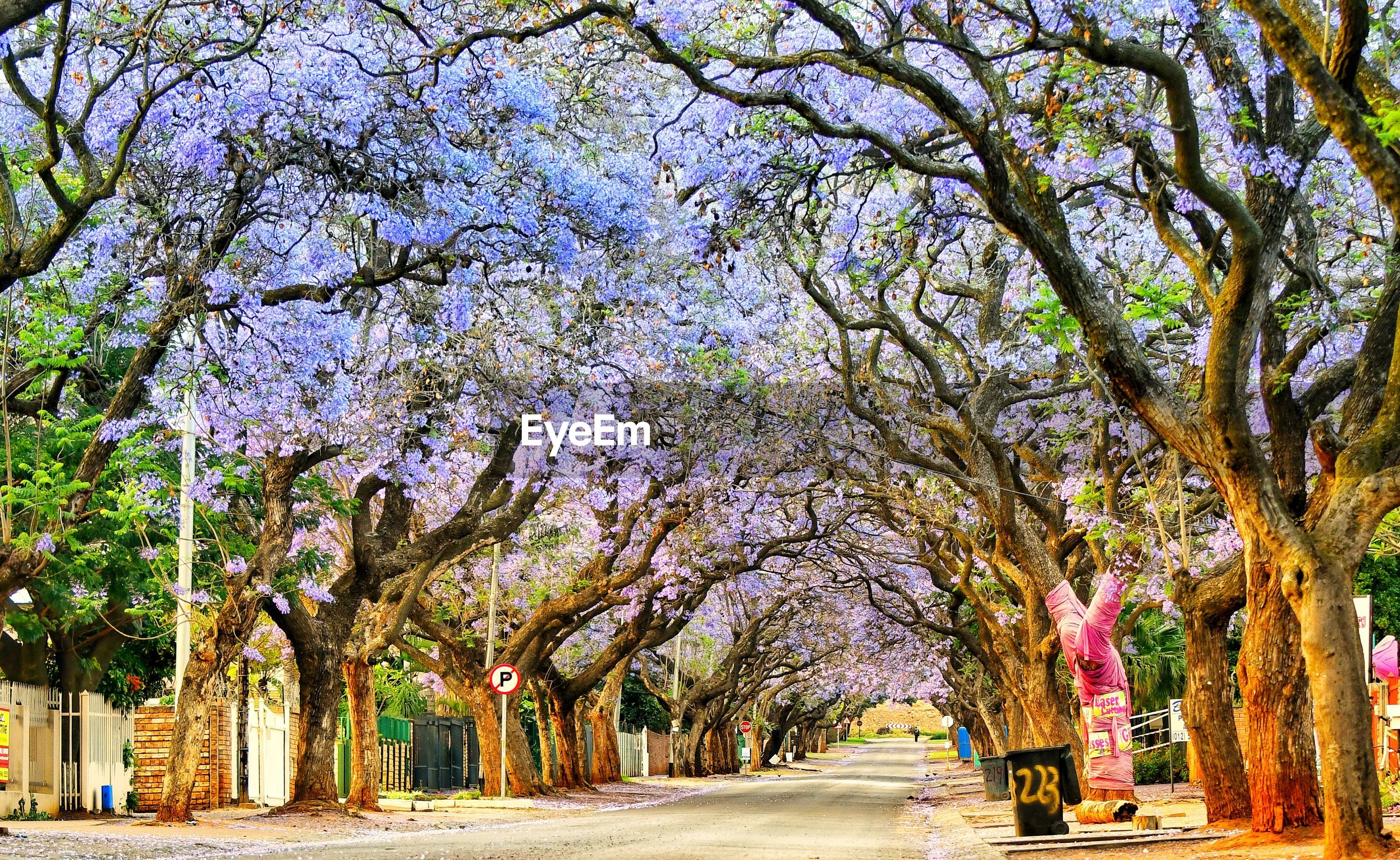 VIEW OF FLOWER TREES IN ROAD