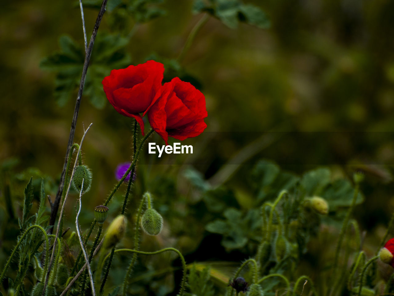 flower, flowering plant, plant, fragility, beauty in nature, freshness, vulnerability, petal, growth, red, flower head, inflorescence, close-up, nature, selective focus, land, field, no people, green color, day, poppy, outdoors