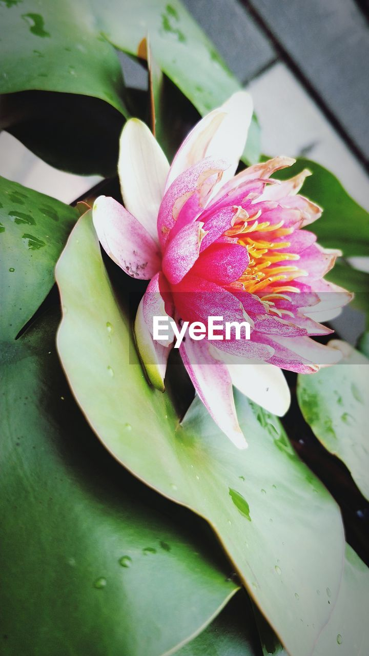 flower, plant, flowering plant, beauty in nature, vulnerability, fragility, growth, inflorescence, flower head, petal, pink color, freshness, water, close-up, leaf, nature, plant part, water lily, pond, no people, pollen, lotus water lily, purple, floating on water