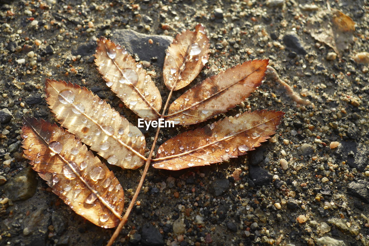 leaf, autumn, dry, change, nature, day, close-up, high angle view, no people, fragility, outdoors, maple leaf, maple, beauty in nature