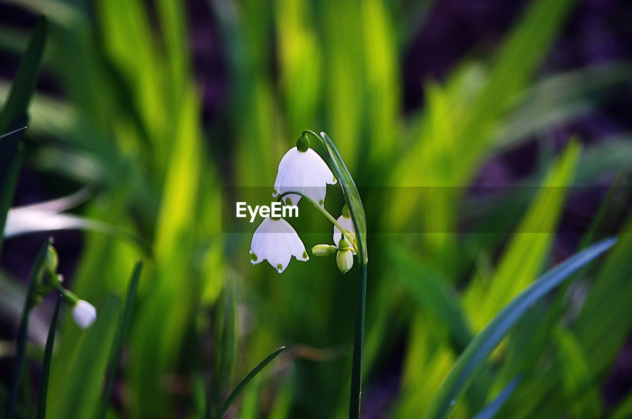 growth, flower, plant, nature, petal, fragility, beauty in nature, green color, freshness, flower head, snowdrop, day, close-up, no people, grass, blooming, outdoors, focus on foreground, crocus