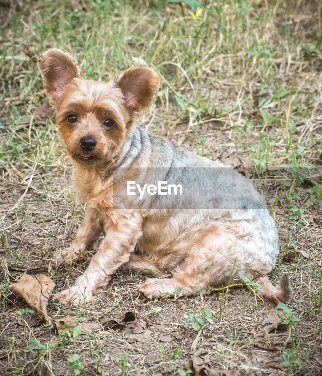 one animal, canine, dog, animal, mammal, animal themes, domestic, pets, domestic animals, looking at camera, portrait, land, vertebrate, field, grass, plant, day, no people, nature, sitting, purebred dog