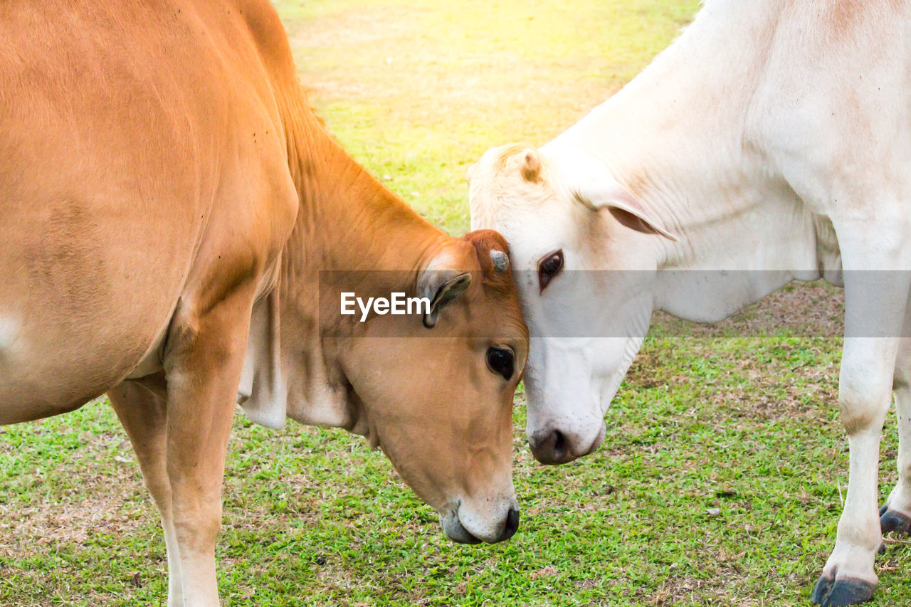 mammal, animal, animal themes, domestic animals, livestock, grass, domestic, field, vertebrate, pets, land, plant, standing, no people, group of animals, nature, day, animal wildlife, cow, cattle, herbivorous, outdoors, animal head