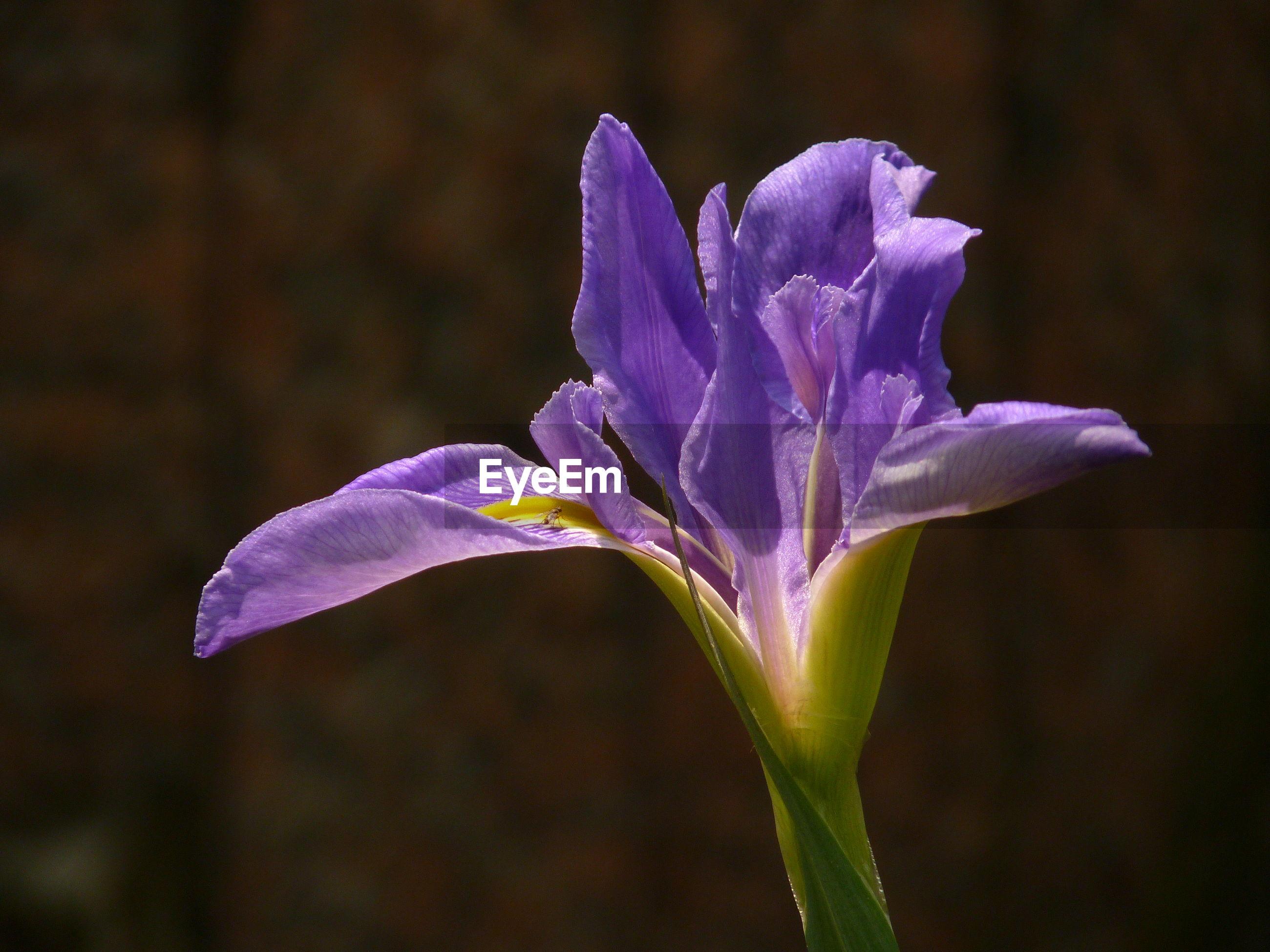 CLOSE-UP OF FRESH PURPLE IRIS FLOWER