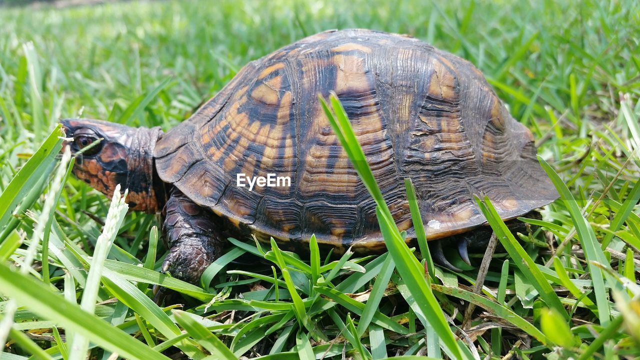 tortoise, tortoise shell, grass, animal shell, turtle, reptile, one animal, animals in the wild, animal themes, wildlife, day, animal wildlife, nature, side view, outdoors, green color, sea turtle, full length, no people, close-up