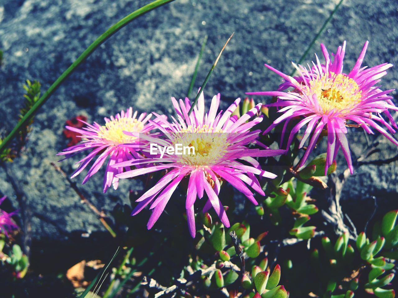 flower, fragility, freshness, petal, beauty in nature, nature, plant, flower head, growth, outdoors, no people, day, high angle view, purple, blooming, close-up