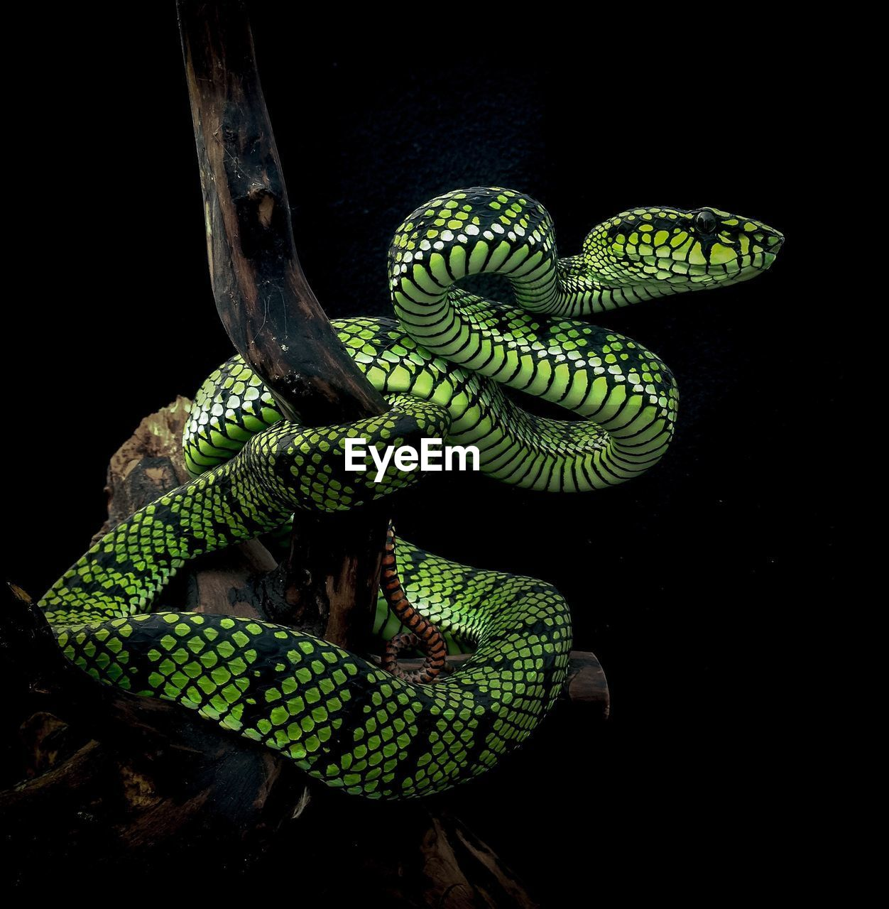 animal themes, animal wildlife, animal, animals in the wild, one animal, reptile, vertebrate, snake, green color, close-up, no people, branch, nature, tree, animal body part, night, black background, studio shot, animal scale, outdoors, poisonous, animal head