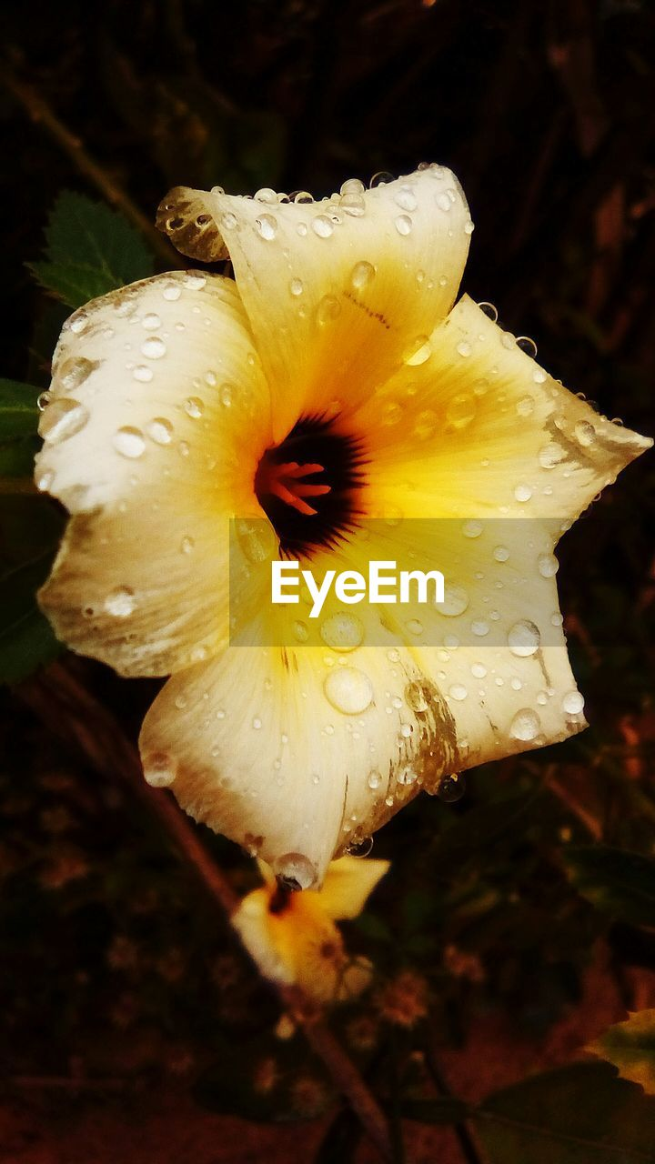 flower, petal, beauty in nature, fragility, nature, wet, drop, flower head, water, growth, freshness, close-up, plant, outdoors, no people, focus on foreground, yellow, night, blooming