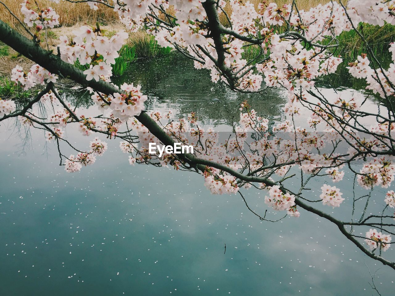 flower, tree, beauty in nature, branch, nature, blossom, growth, water, fragility, cherry tree, lake, apple blossom, springtime, no people, freshness, day, outdoors, twig, waterfront, reflection, scenics, tranquility, foreground, leaf, plant, flower head, close-up, sky