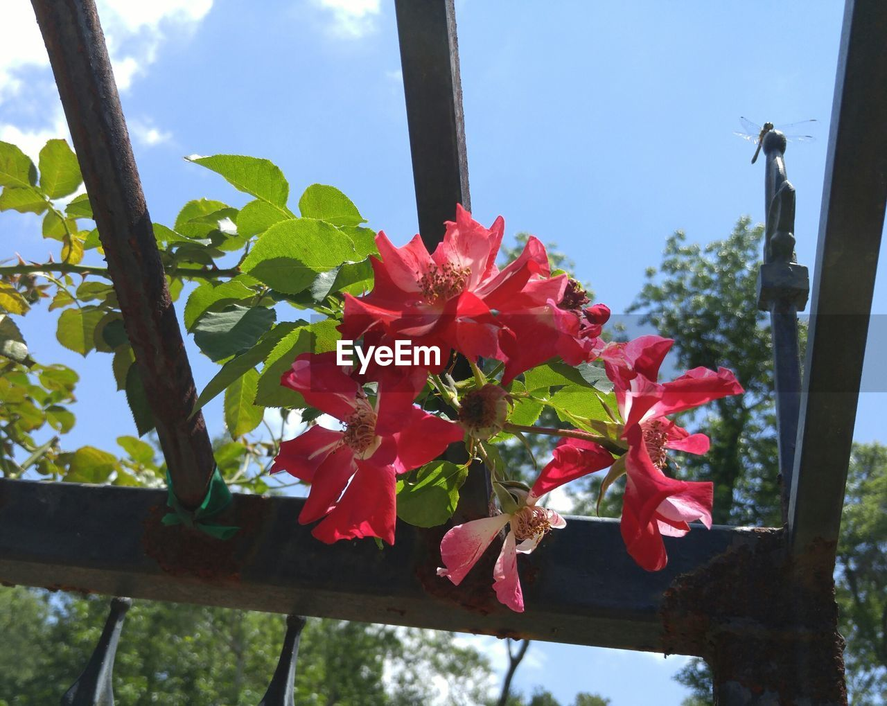 flower, growth, red, day, fragility, beauty in nature, window, petal, no people, nature, low angle view, blooming, plant, freshness, close-up, outdoors, flower head, sky