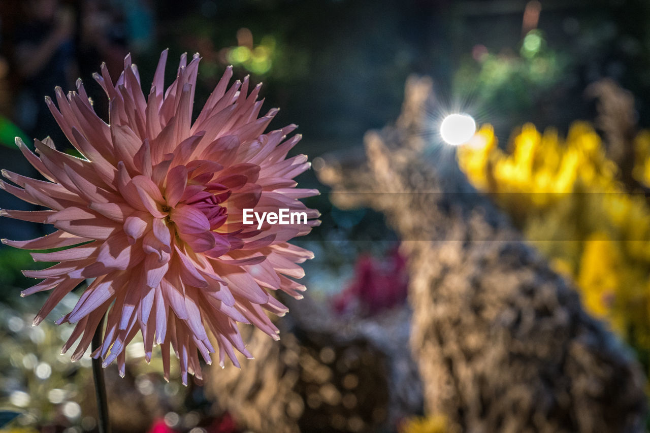 flower, petal, beauty in nature, focus on foreground, fragility, freshness, nature, close-up, flower head, no people, growth, outdoors, day