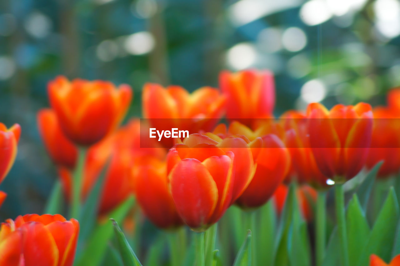 flower, beauty in nature, freshness, nature, growth, petal, fragility, plant, orange color, blooming, flower head, tulip, no people, day, focus on foreground, outdoors, red, close-up