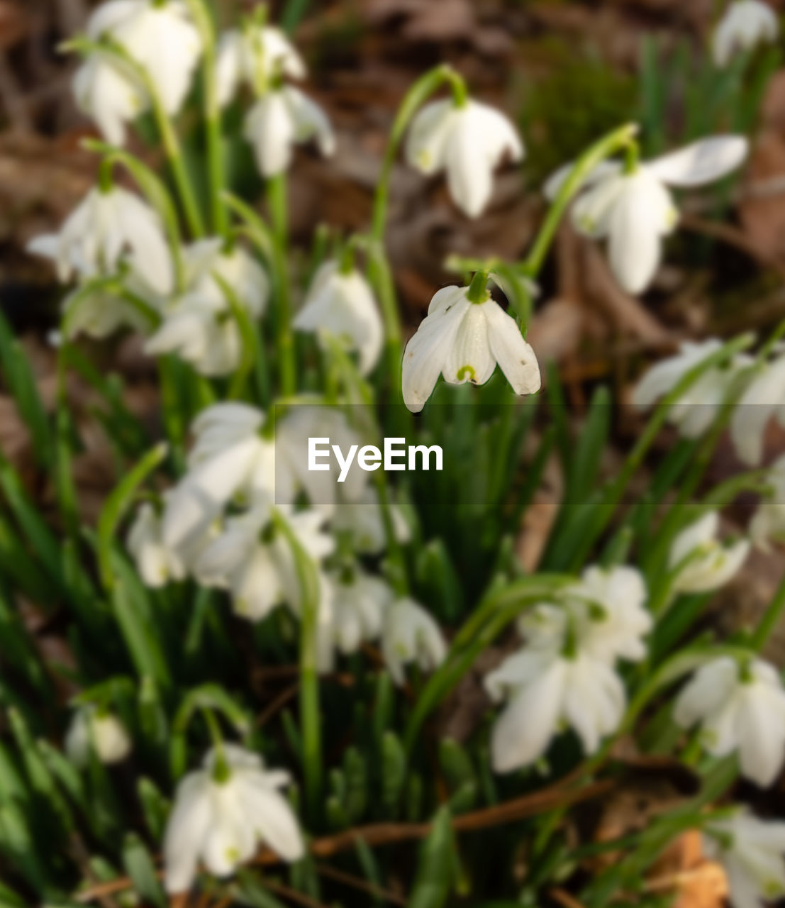 plant, flowering plant, flower, fragility, vulnerability, beauty in nature, freshness, growth, petal, white color, close-up, flower head, inflorescence, nature, no people, day, focus on foreground, selective focus, snowdrop, outdoors