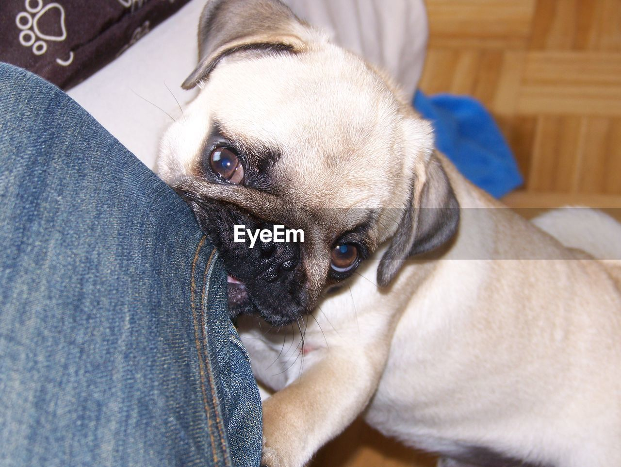 pets, domestic, domestic animals, one animal, mammal, dog, canine, vertebrate, indoors, looking at camera, close-up, portrait, young animal, one person, relaxation, human leg, human body part, pet owner, jeans