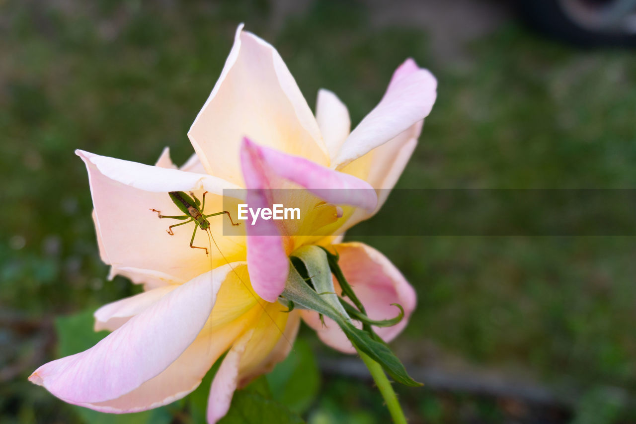 flowering plant, flower, vulnerability, fragility, freshness, petal, plant, flower head, beauty in nature, inflorescence, close-up, growth, invertebrate, focus on foreground, nature, day, insect, pollen, animal themes, animals in the wild, no people, outdoors