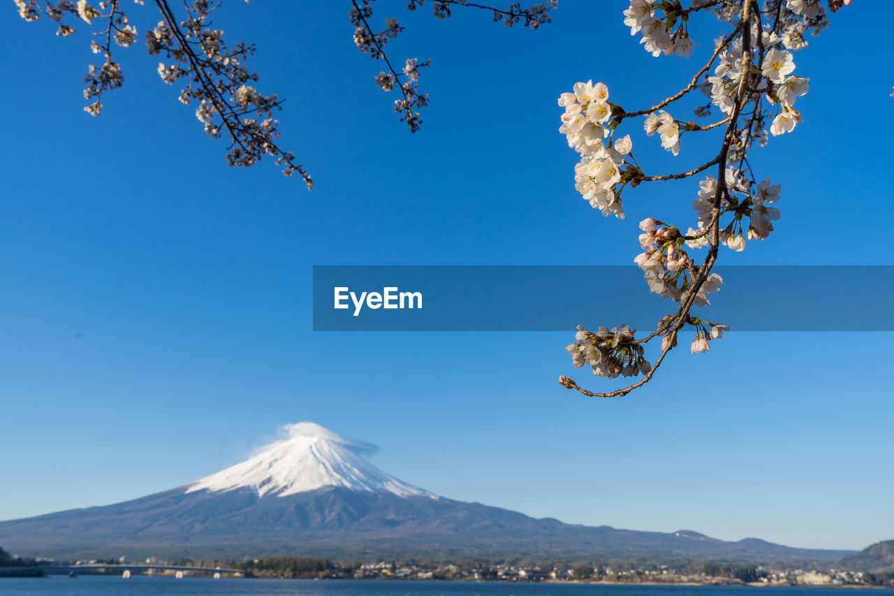 View Of Cherry Blossom Against Clear Blue Sky