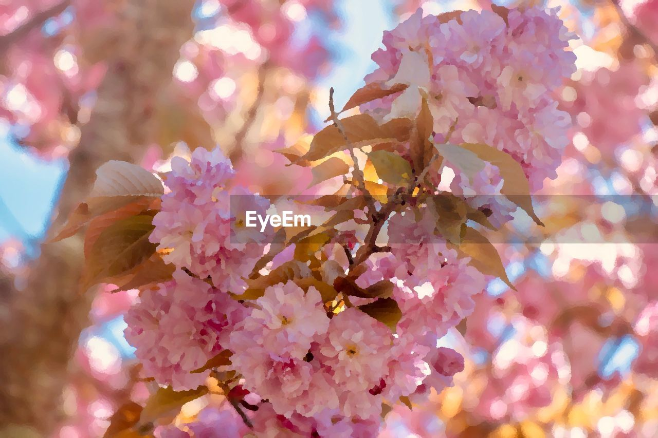 flowering plant, flower, fragility, plant, freshness, beauty in nature, vulnerability, pink color, growth, petal, close-up, nature, tree, day, branch, flower head, selective focus, blossom, no people, springtime, cherry blossom, outdoors, pollen, cherry tree, bunch of flowers