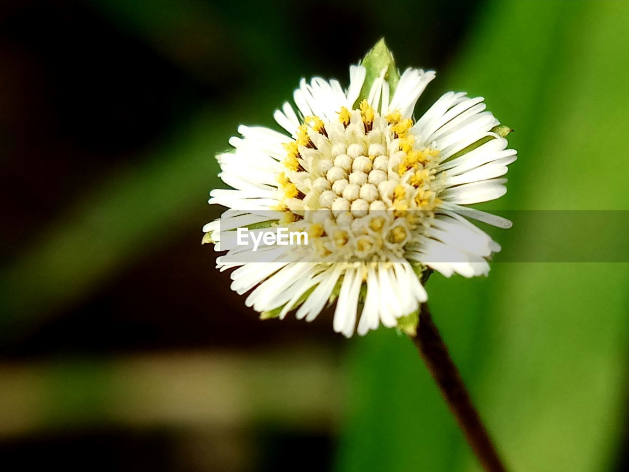 flower, nature, beauty in nature, petal, fragility, flower head, freshness, white color, growth, close-up, yellow, no people, plant, day, focus on foreground, outdoors, blooming