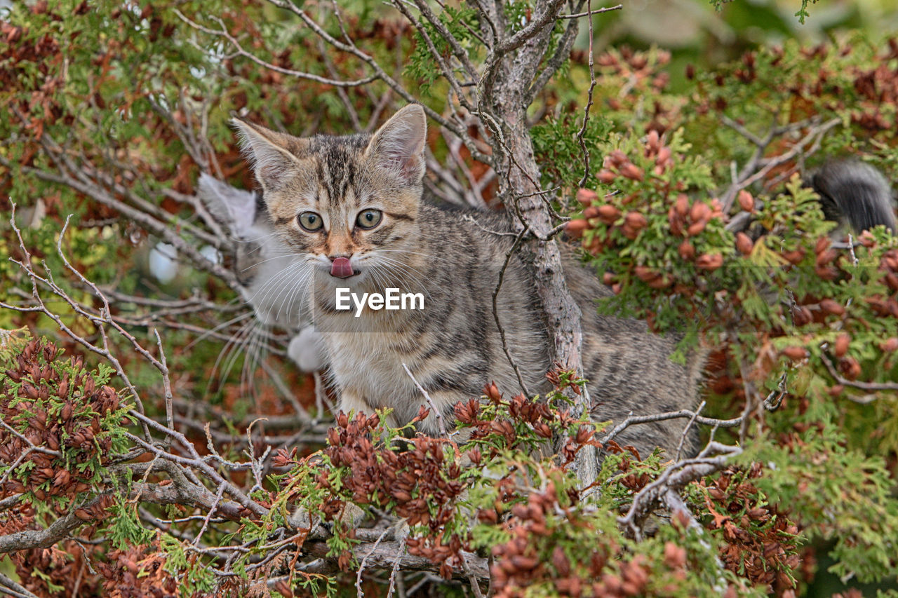 animal themes, one animal, domestic, animal, mammal, pets, domestic cat, domestic animals, cat, feline, plant, vertebrate, no people, portrait, land, looking at camera, nature, day, field, tree, whisker, tabby