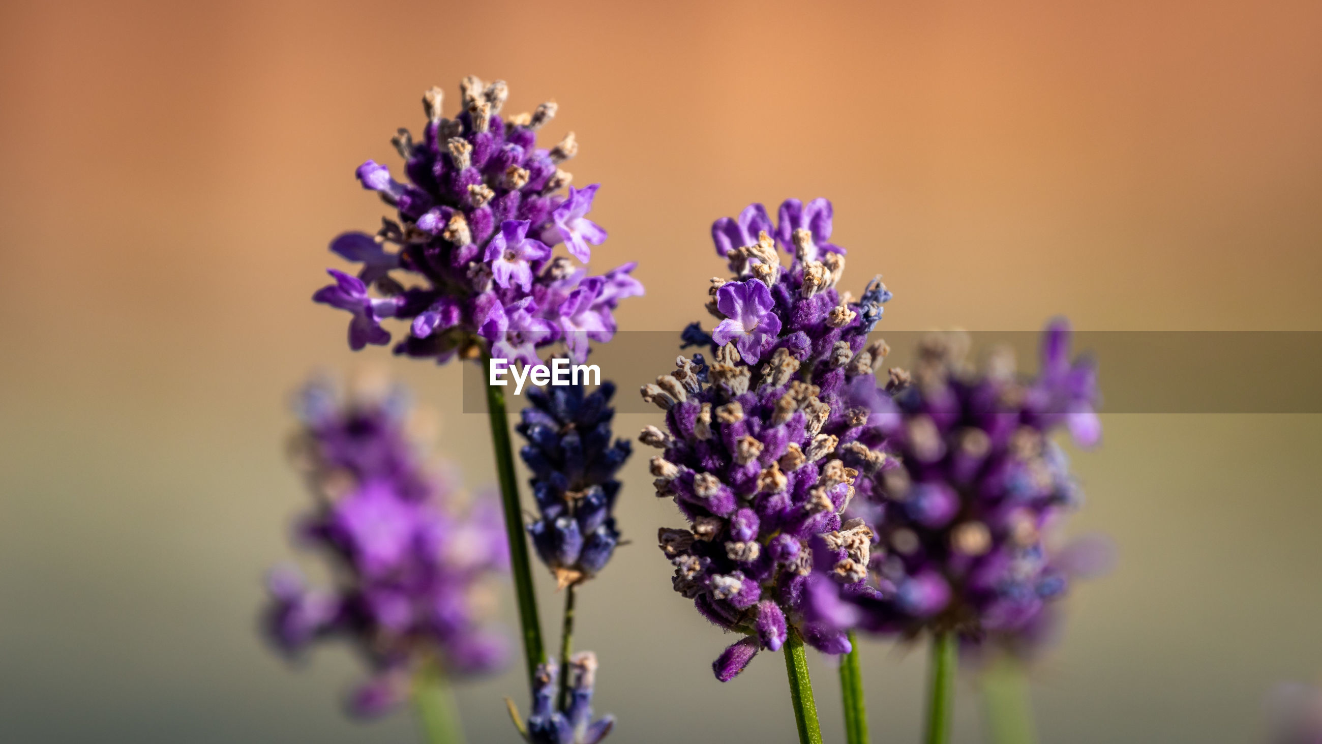 CLOSE-UP OF PURPLE LAVENDER FLOWERS