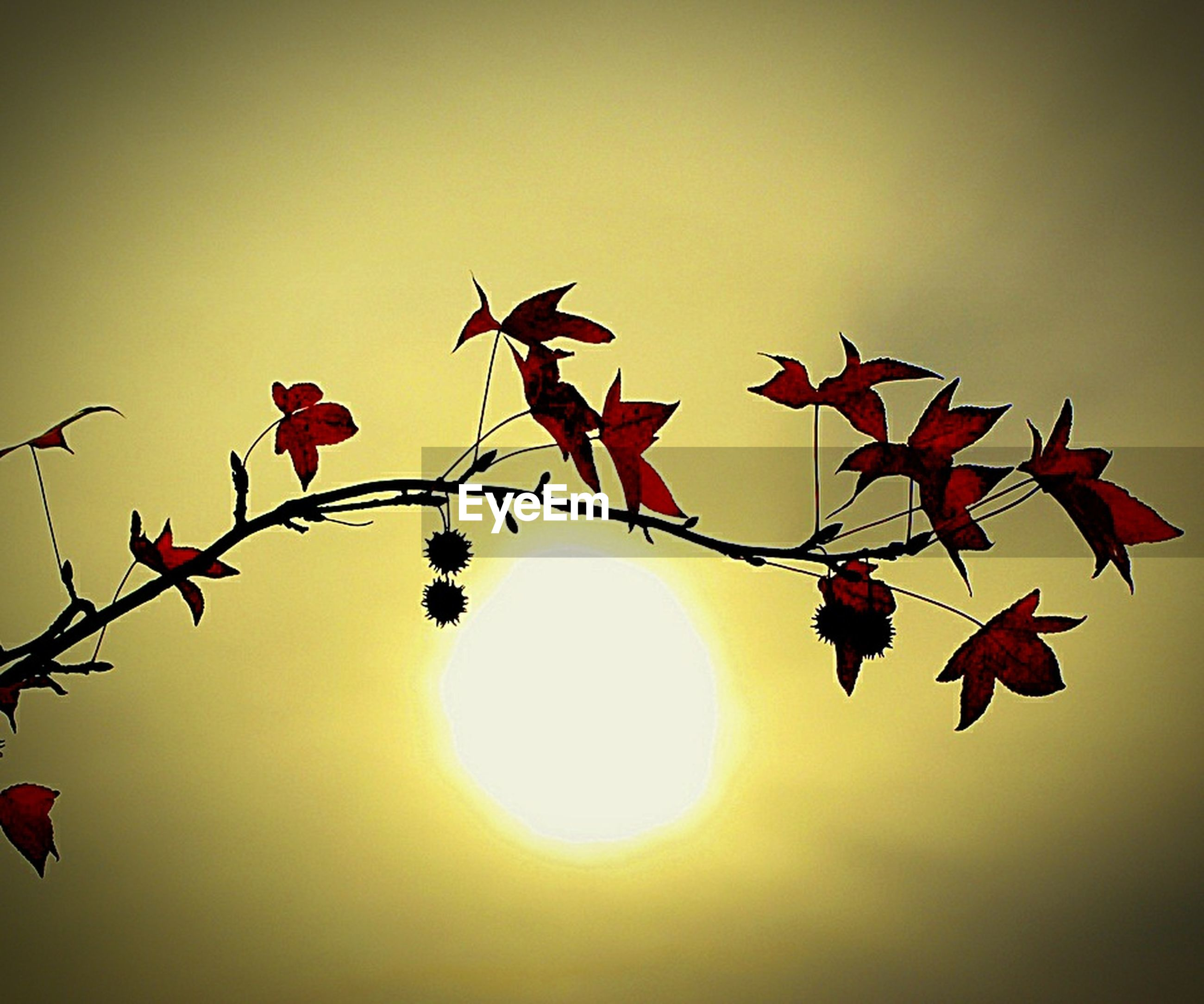 sun, branch, clear sky, low angle view, growth, nature, beauty in nature, sunset, red, freshness, twig, tree, sunlight, leaf, close-up, orange color, sky, fragility, flower, outdoors