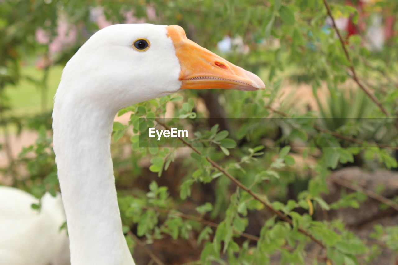bird, animal themes, animal, vertebrate, one animal, animal wildlife, animals in the wild, focus on foreground, beak, close-up, animal body part, white color, nature, plant, day, no people, side view, animal neck, animal head, water bird, profile view, animal eye, mouth open