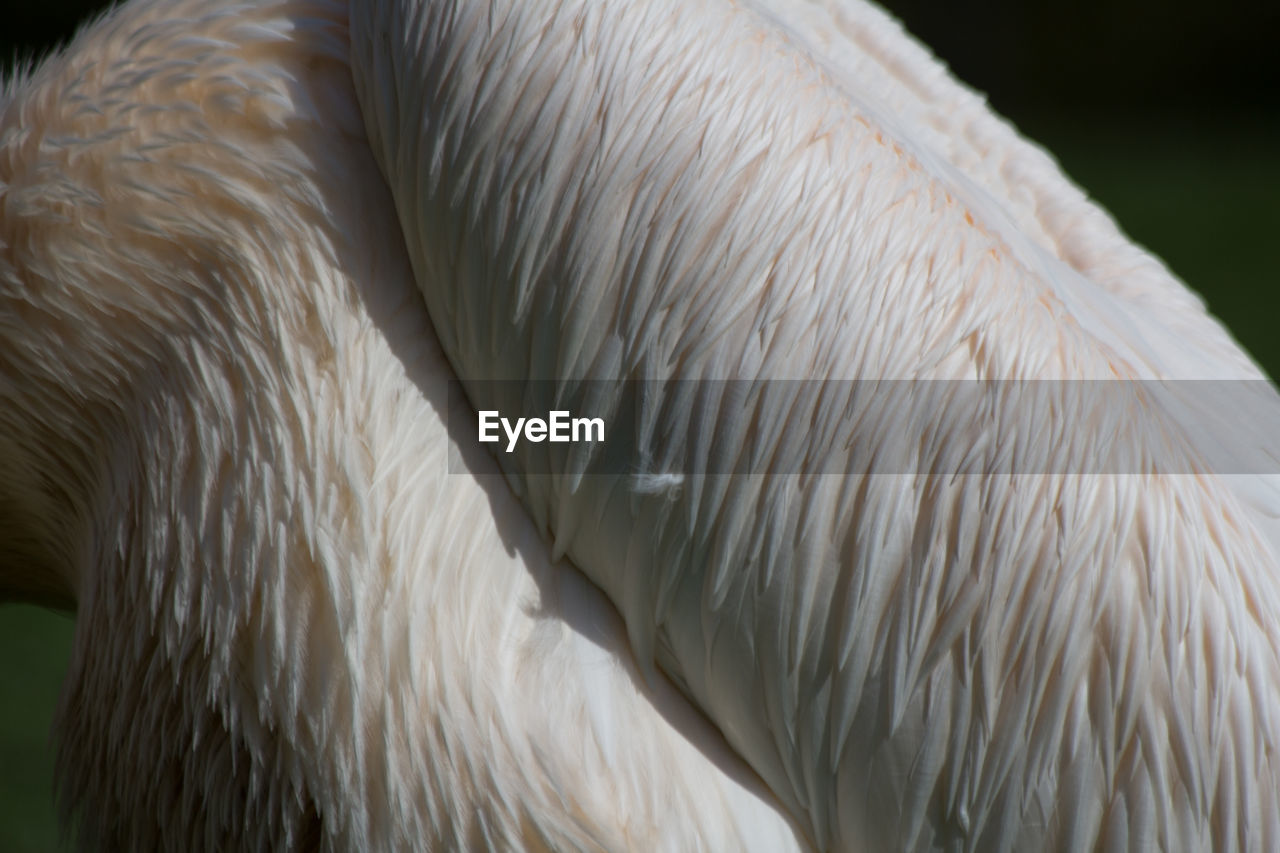 one animal, close-up, white color, animal themes, animals in the wild, feather, beak, animal wildlife, no people, bird, day, nature, outdoors, swan