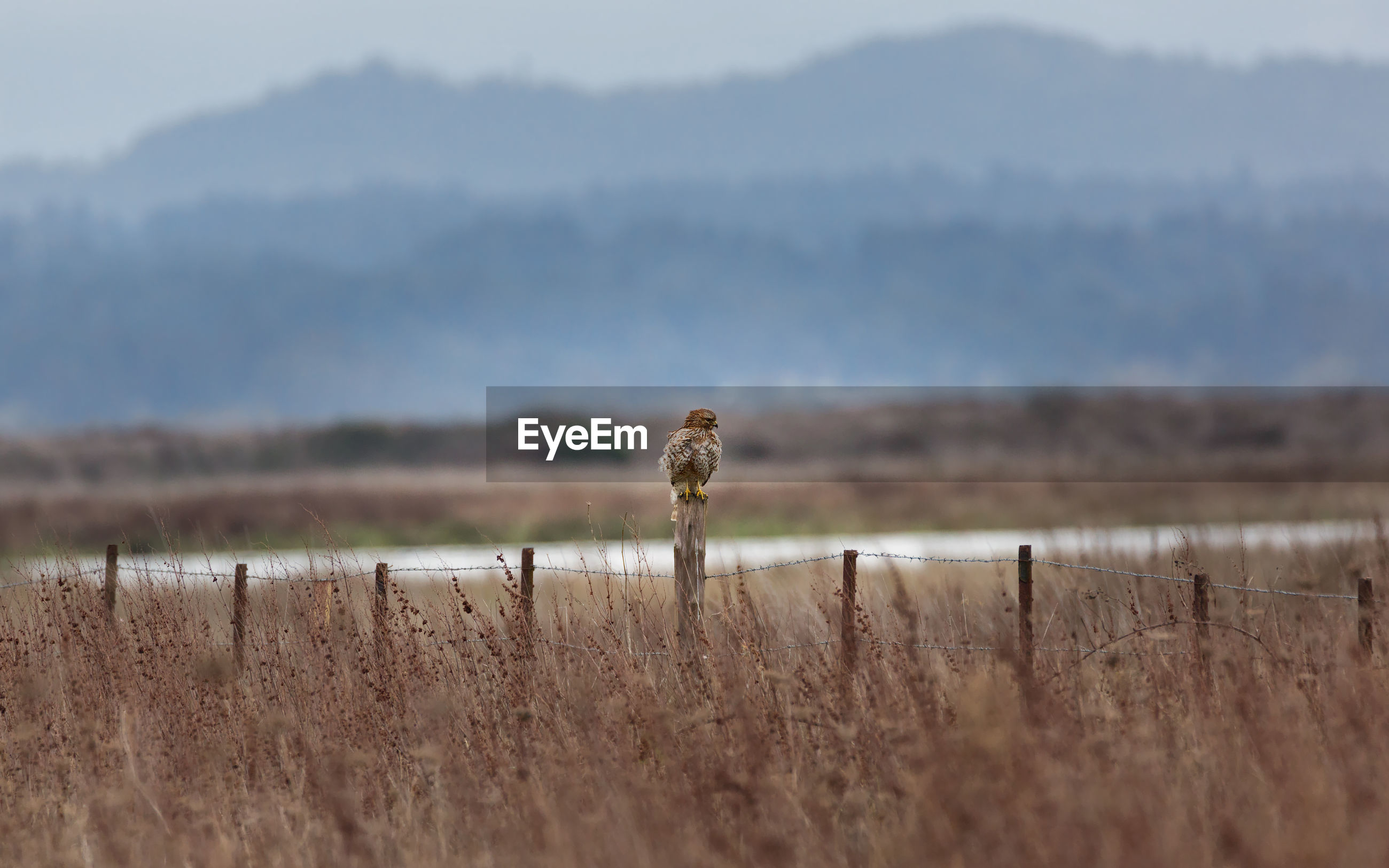 Hawk perching on fence post amidst grass