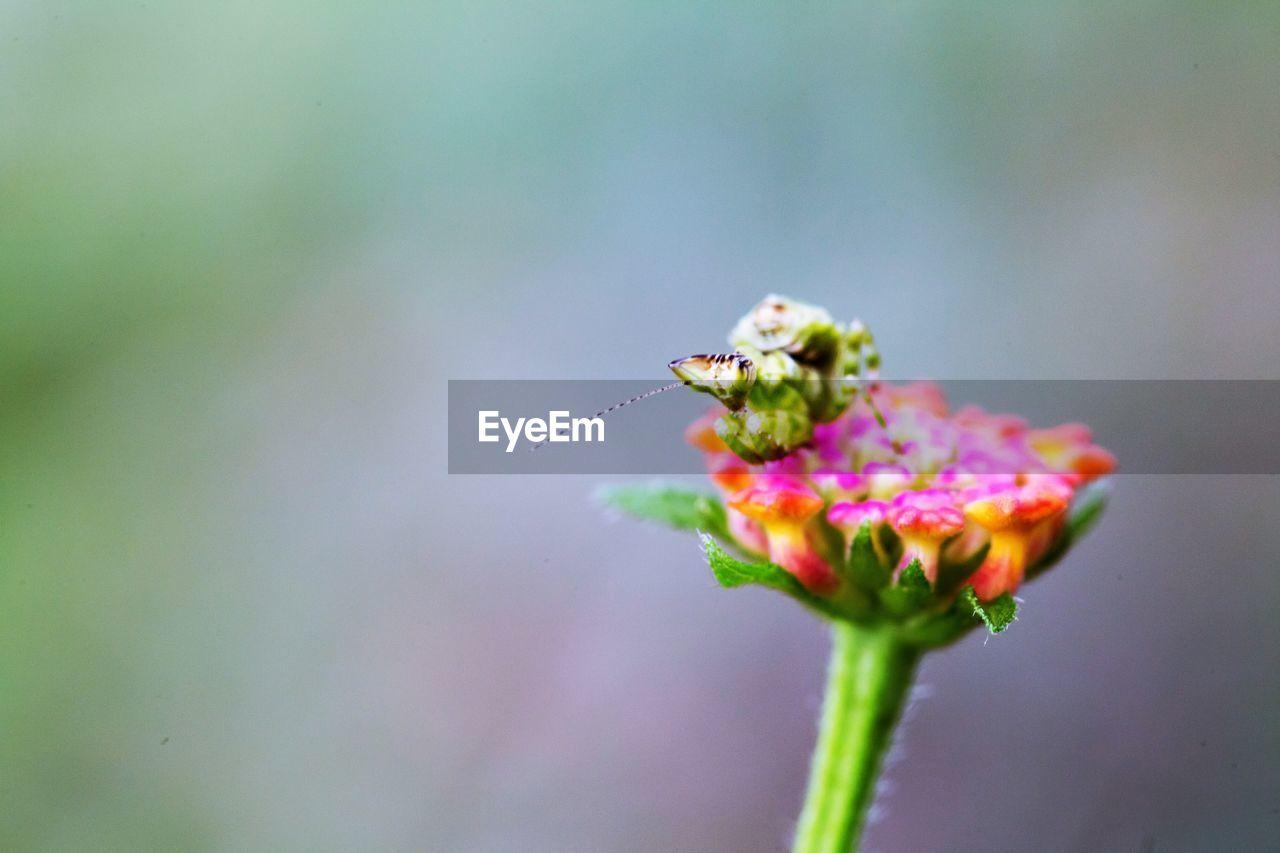 Close-up Of Insect On Lantana Camara