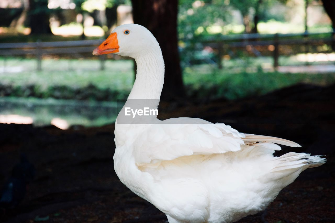 bird, animal themes, vertebrate, animal, animals in the wild, animal wildlife, one animal, focus on foreground, white color, swan, water, nature, water bird, close-up, day, no people, beak, animal body part, zoology, animal neck