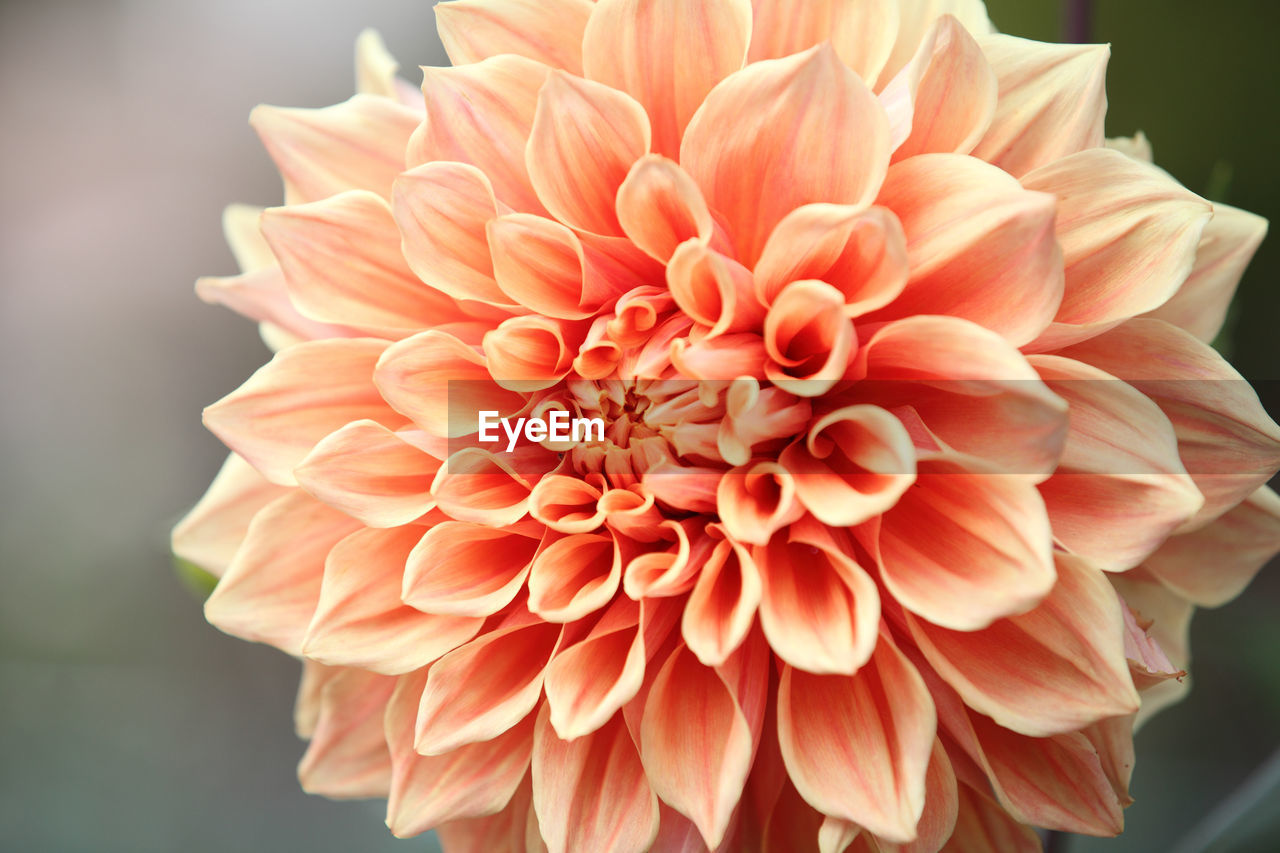 flowering plant, flower, flower head, beauty in nature, inflorescence, fragility, vulnerability, petal, freshness, close-up, dahlia, plant, growth, focus on foreground, nature, no people, day, natural pattern, orange color