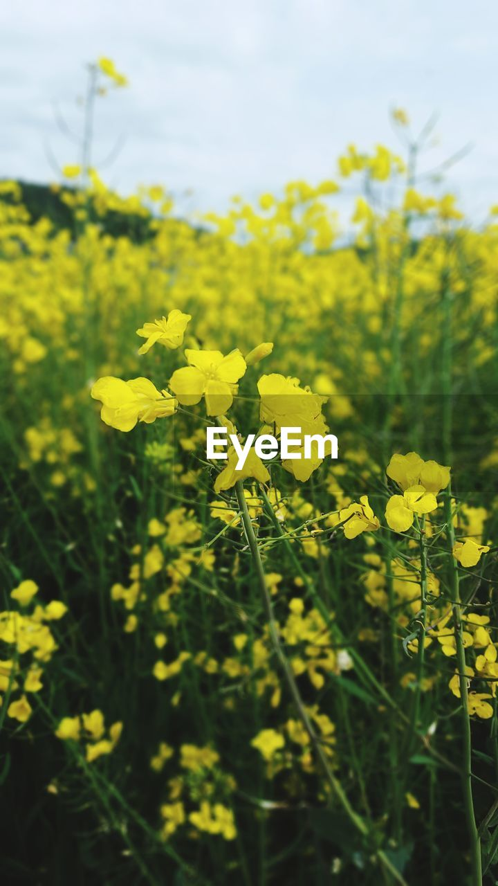 yellow, oilseed rape, agriculture, flower, growth, nature, farm, crop, field, cultivated land, mustard plant, beauty in nature, vibrant color, day, plant, outdoors, no people, fragility, freshness, sky