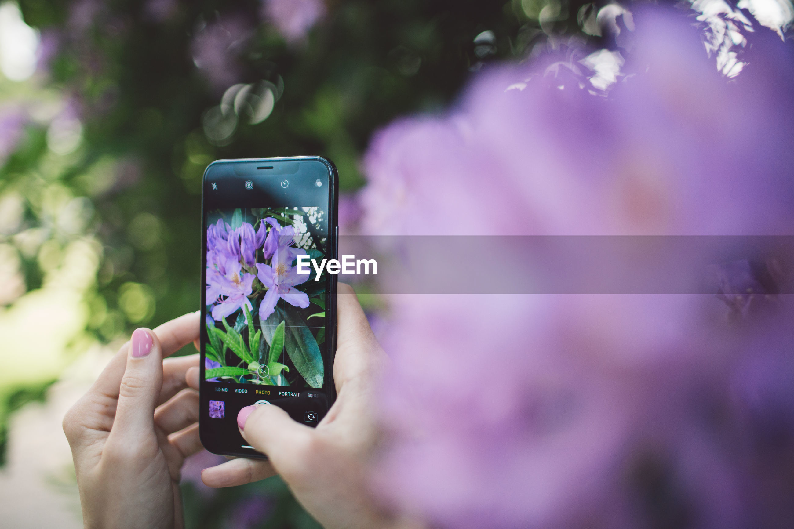 Cropped hands of woman photographing purple flowers with smart phone