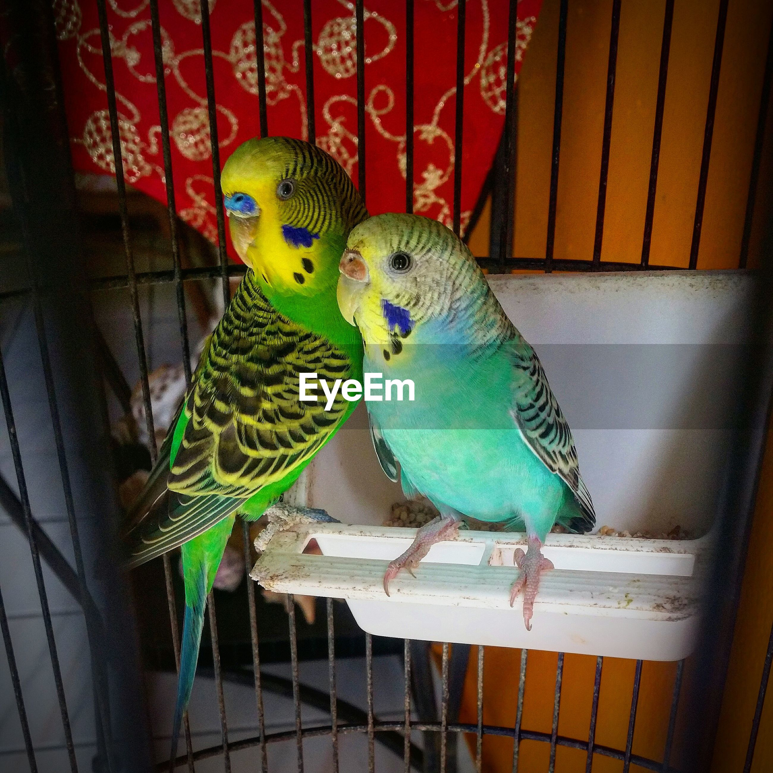 budgerigar, animal themes, bird, cage, parrot, animals in captivity, birdcage, parakeet, one animal, no people, perching, domestic animals, indoors, pets, animals in the wild, close-up, day