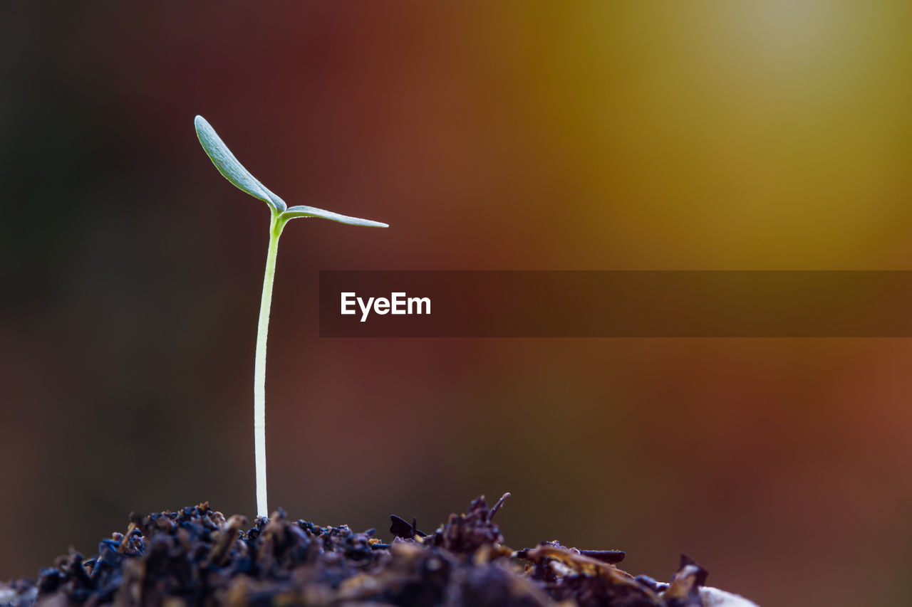 close-up, no people, selective focus, growth, nature, beauty in nature, beginnings, focus on foreground, plant, day, freshness, leaf, food, outdoors, plant part, food and drink, plant stem, new life, wellbeing, green color