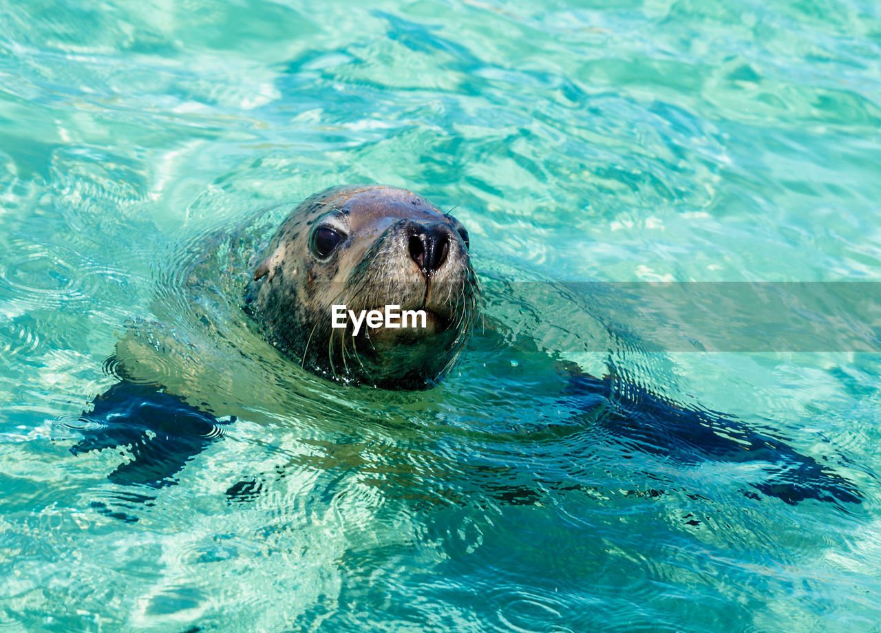 water, one animal, animal themes, animal, mammal, animals in the wild, swimming, animal wildlife, underwater, sea, aquatic mammal, animal head, animal body part, no people, nature, waterfront, day, seal, seal - animal, outdoors, swimming pool, marine, turquoise colored