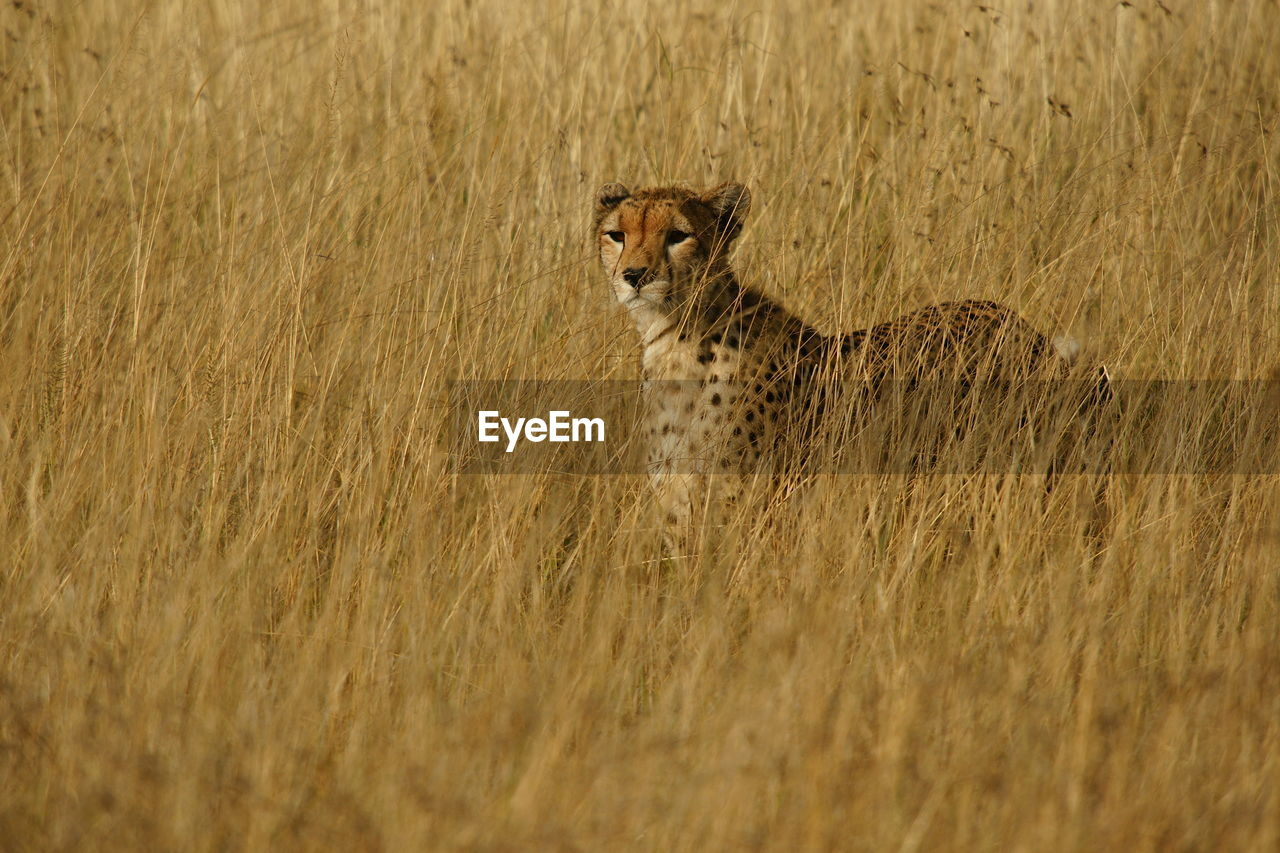 Portrait of cheetah on field