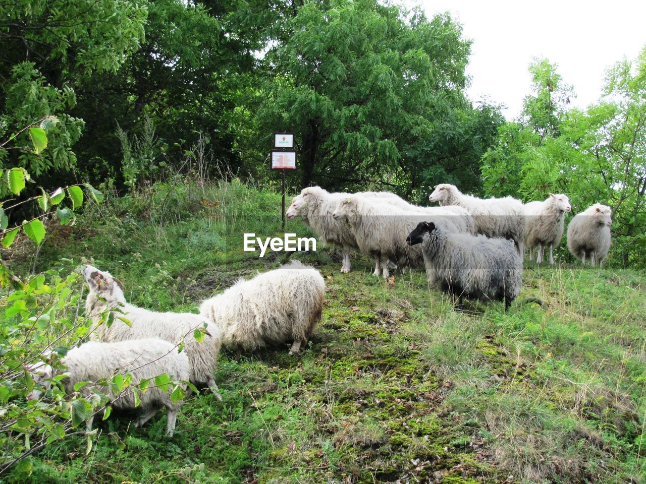 mammal, livestock, group of animals, animal themes, domestic animals, domestic, plant, animal, pets, green color, grass, sheep, tree, nature, land, vertebrate, day, field, agriculture, no people, herbivorous, outdoors, animal family