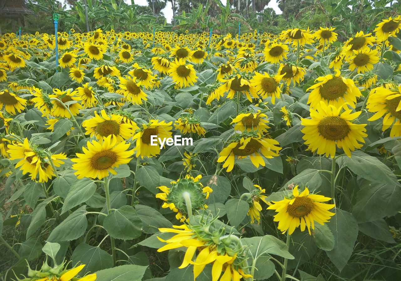 flower, flowering plant, yellow, growth, plant, freshness, beauty in nature, fragility, vulnerability, petal, nature, field, close-up, flower head, land, inflorescence, no people, day, abundance, rural scene, sunflower, outdoors, springtime, flowerbed