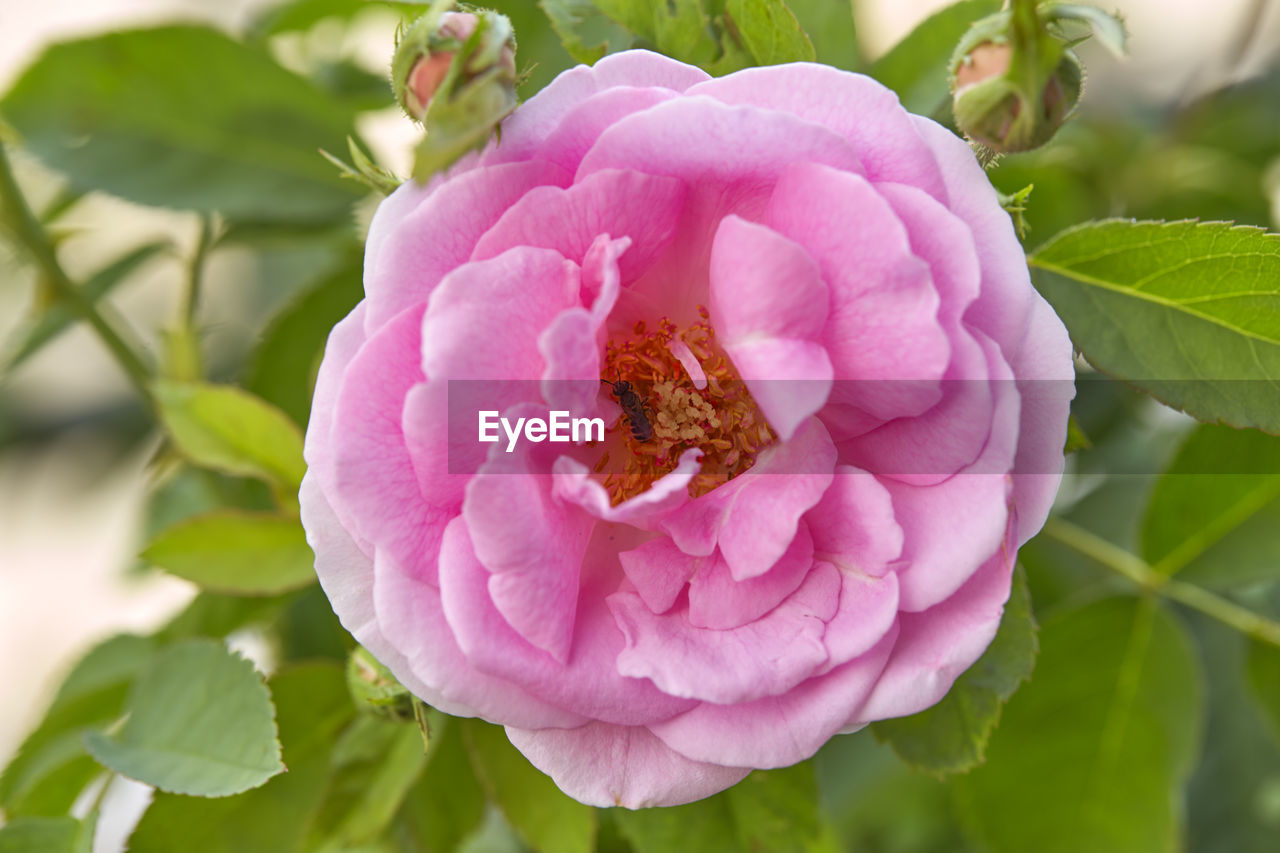 flower, flowering plant, plant, growth, petal, freshness, pink color, beauty in nature, close-up, fragility, vulnerability, leaf, flower head, plant part, inflorescence, nature, no people, focus on foreground, day, pollen, outdoors, pollination
