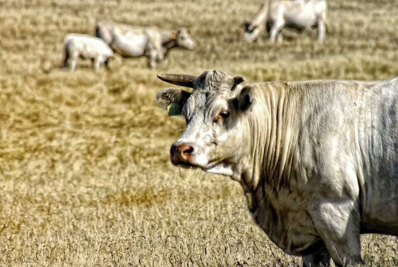 animal themes, livestock, domestic animals, cattle, cow, field, mammal, day, no people, outdoors, grass, nature, close-up