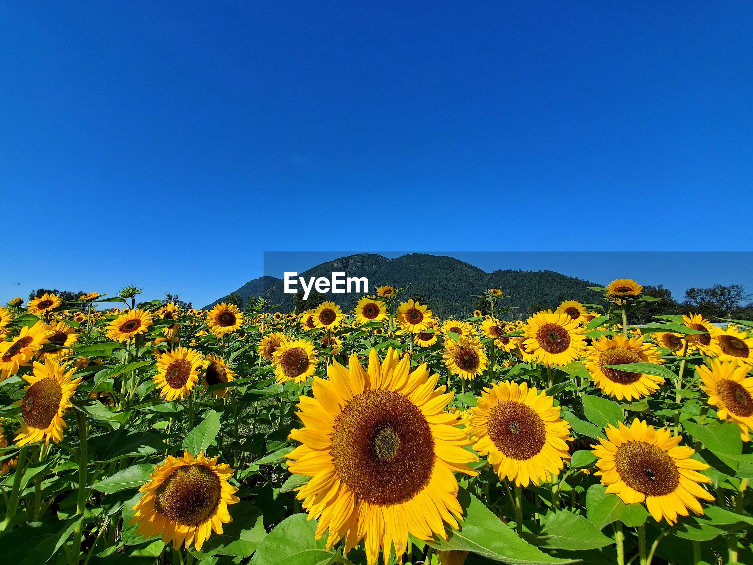 SUNFLOWER FIELD AGAINST CLEAR BLUE SKY