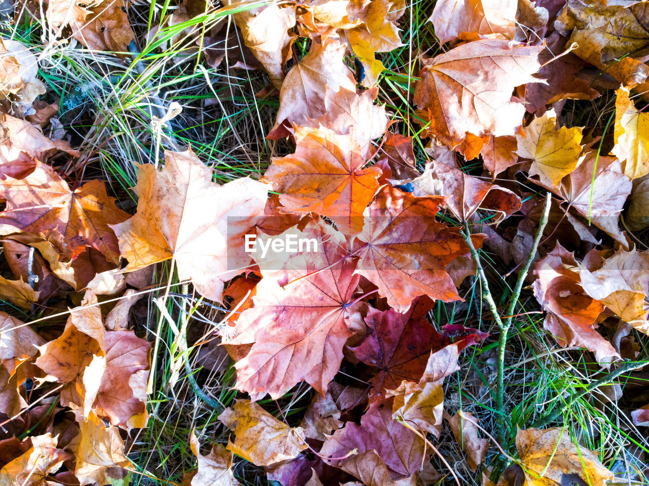 CLOSE-UP OF MAPLE LEAVES FALLEN ON FIELD